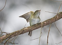 Acadian-Flycatcher-at-Belleplain-State-Forest.jpg