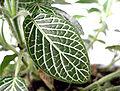 Acanthaceae leaf.jpg