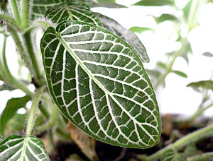 Acanthaceae - Leaf of the nerve plant (Fittonia verschaffeltii)