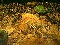 Acanthogammarus at Aquarium around Lake Baikal 01.jpg