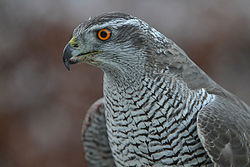 Accipiter gentilis -owned by a falconer in Scotland -upper body-8a.jpg
