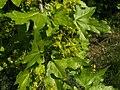 Acer campestre 007.jpg