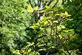 Acer griseum - Morris Arboretum - DSC00447.JPG