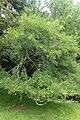 Acer monspessulanum kz04.jpg