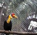 Aceros corrugatus -Zoo Negara -Malaysia-8a.jpg