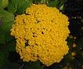 Achillea filipendulina 2015-07-15 4664.JPG