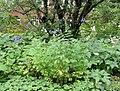 Aconitum napellus plant (21).jpg