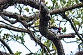 Acorn woodpecker (38416542176).jpg