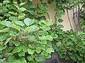 Actinidia chinensis2.jpg