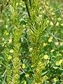 Adonis aestivalis leaf (01).jpg