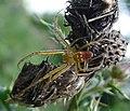 Adult male Metellina mengei. Tetragnathidae (34718468195).jpg
