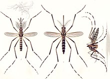 S Of The Yellow Fever Mosquito A Aegypti Male Is On Left Females Are Right Only Female Bites Humans To Transmit
