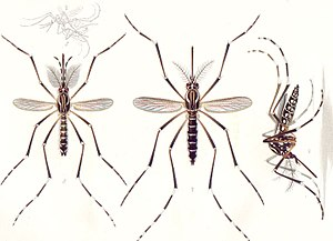 Aedes aegypti - Male (left) and female (center and right) Ae. aegypti