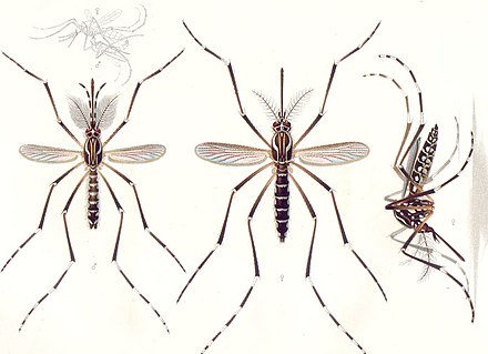 Adults of the yellow fever mosquito A. aegypti: The male is on the left, females are on the right. Only the female mosquito bites humans to transmit the disease. Aedes aegypti E-A-Goeldi 1905.jpg