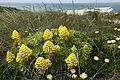 Aeonium arboreum Peniche1.JPG