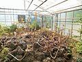 Aeonium manriqueorum en los invernaderos centrales del Jardín Botánico de Córdoba 01.jpg