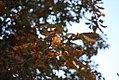 Aesculus hippocastanum - Divlji kesten (3).jpg