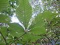 Aesculus parviflora-Jardin des plantes 03.JPG