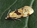 Aethes ?cnicana - Burdock conch (40424510115).jpg