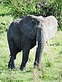 African Elephant (3076238760).jpg