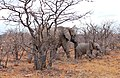 African Elephants (Loxodonta africana) female and young in dry Mopane forest ... (33038354601).jpg