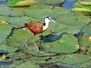 Bird feet and legs - Image: African Jacana (Actophilornis africanus)