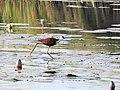 African Jacana or Jesus Bird in Okavango Delta.jpg