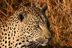 African Leopard Chitwa South Africa Luca Galuzzi 2004.JPG