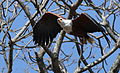 African fish eagle, Haliaeetus vocifer, at Lake Chivero, Harare, Zimbabwe (21746596178).jpg