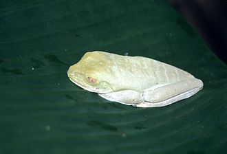 Agalychnis callidryas - Specimen in camouflage mode