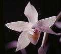 Aganisia pulchella flower.jpg