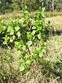 Ageratina adenophora plant2 (11508261155).jpg