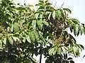 Aglaia spectabilis flowering2429.jpg
