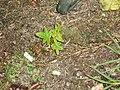 Ailanthus altissima (Mill.) Swingle (AM AK171360).jpg