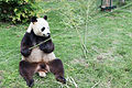 Ailuropoda melanoleuca (Panda géant) - 446.jpg