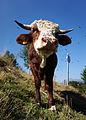 Albertville - cattle.jpg
