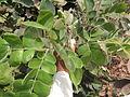 Albizia saman (Raintree) (14).jpg
