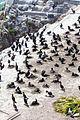 Alcatraz cormorants 270415 01.jpg