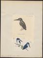 Alcyone pusilla - 1700-1880 - Print - Iconographia Zoologica - Special Collections University of Amsterdam - UBA01 IZ16800235.tif