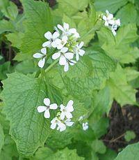 Alliaria petiolata bgiu