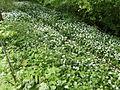 Allium.ursinum.3902.JPG