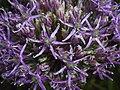 Allium aflatunense 2016-05-17 0730.jpg