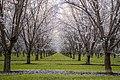 Almond trees in bloom.jpg