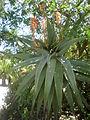 Aloe candelabrum 3c.JPG