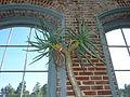Aloe dichotoma - Missouri Botanical Garden.jpg