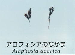 Alophosia azorica - National Museum of Nature and Science, Tokyo - DSC07603.JPG