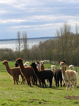Alpaca herd on Toft Hill overlooking Draycote - geograph.org.uk - 671178