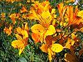 Alstroemeria aurea Graham.jpg