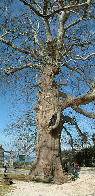 Trsteno Arboretum - Old Plane tree at the Arboretum entrance. Notice the size of the bench related to the trunk diameter.