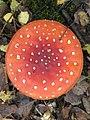 Amanite phalloïde.jpg